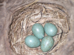 Four blue blackbird eggs in the nest