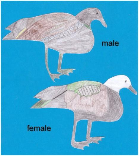 Male and Femal Paradise Shelduck